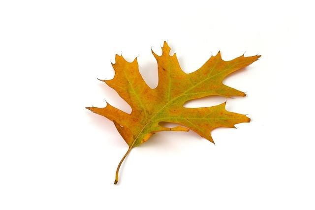 Oak leaf color, backgrounds textures.