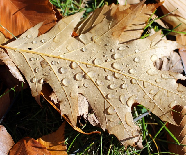 Oak leaf rain, nature landscapes.