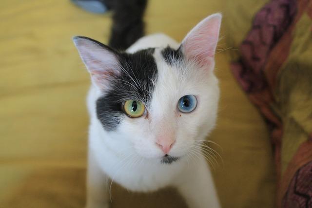 Odd-eyed cat black, animals.