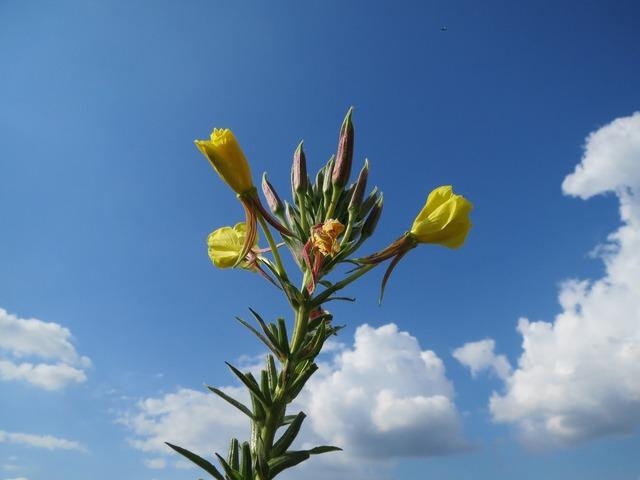 Oenothera biennis common evening-primrose evening star, nature landscapes.