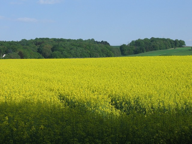 Oilseed rape field nature, nature landscapes.