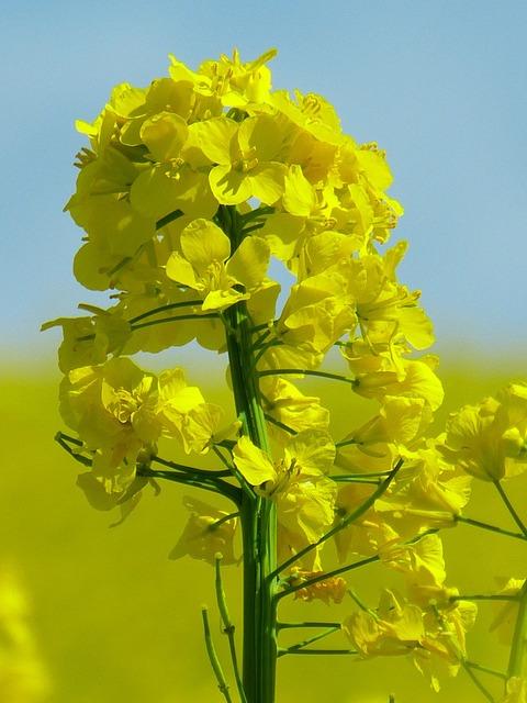 Oilseed rape plant crop, nature landscapes.