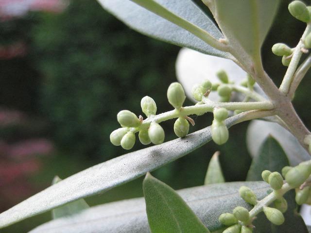 Olive bud plant, nature landscapes.
