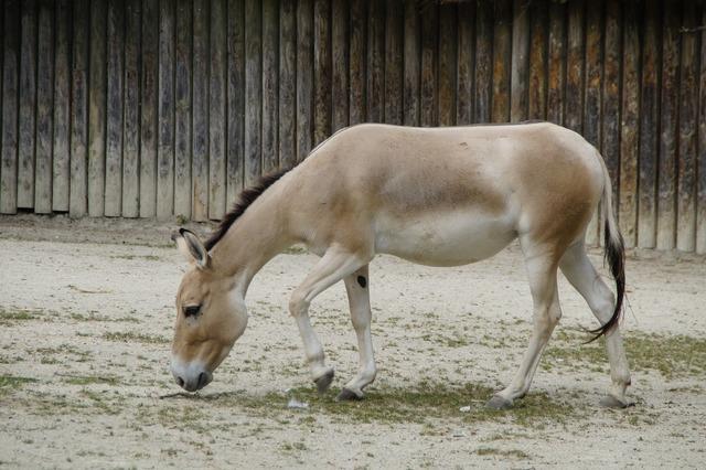 Onager donkey asian ass.