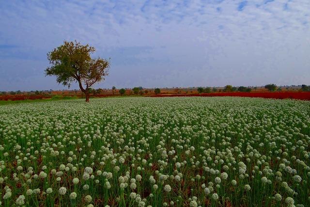 Onion flower farm seed-farming.