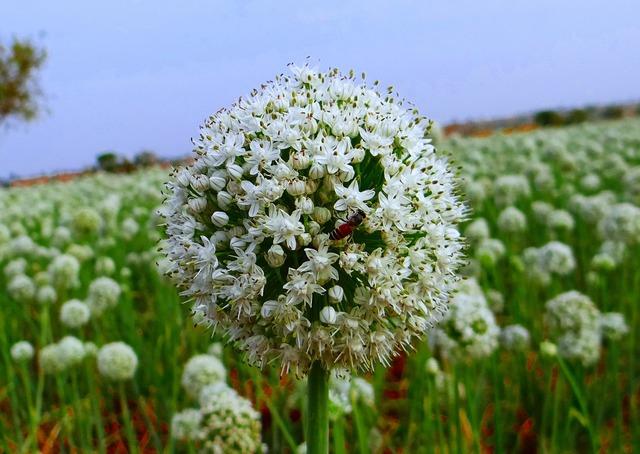 Onion flower honeybee seed-farming.