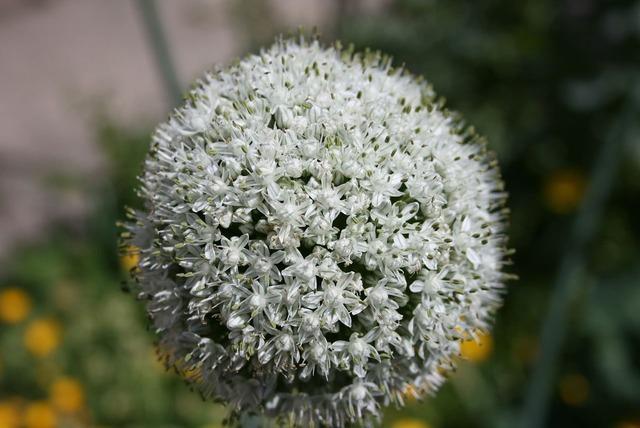 Onion flower plant, nature landscapes.
