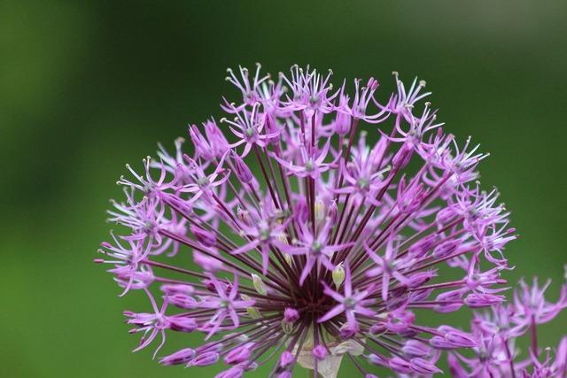 Onion purple flower flower, nature landscapes.