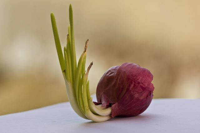 Onion red onion bulb, food drink.