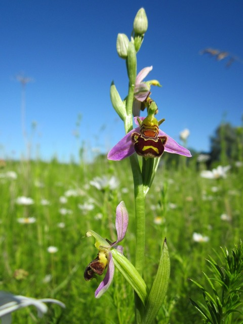 Ophrys apifera bee orchid ophrys, nature landscapes.