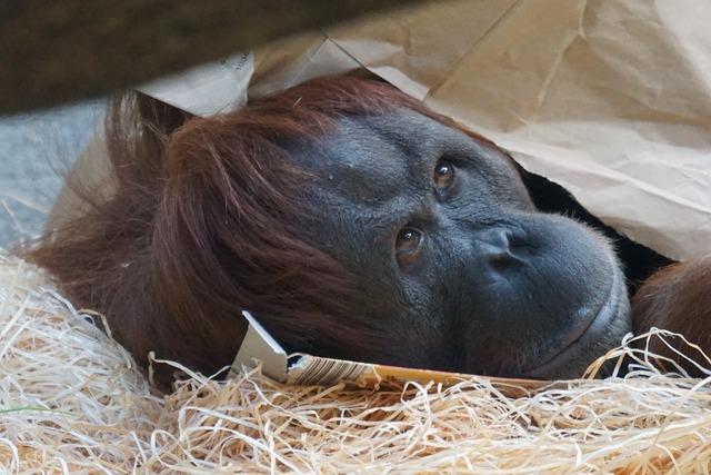 Orang utan ape primate, animals.