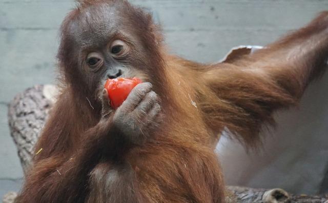 Orang-utan primate monkey.