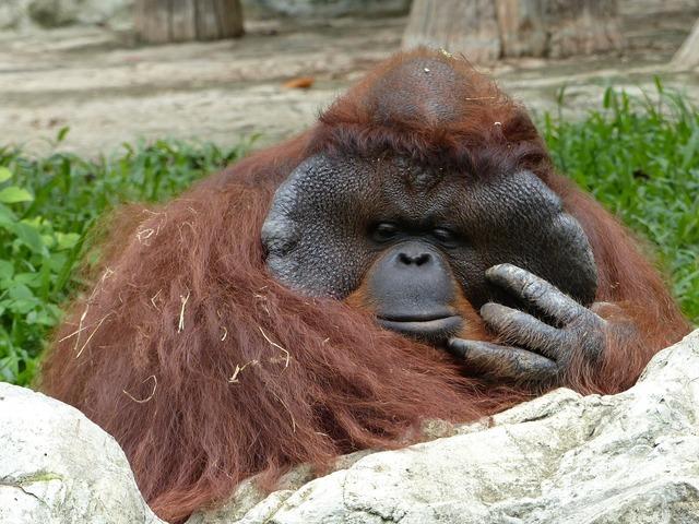 Orang utan zoo chiang mai.