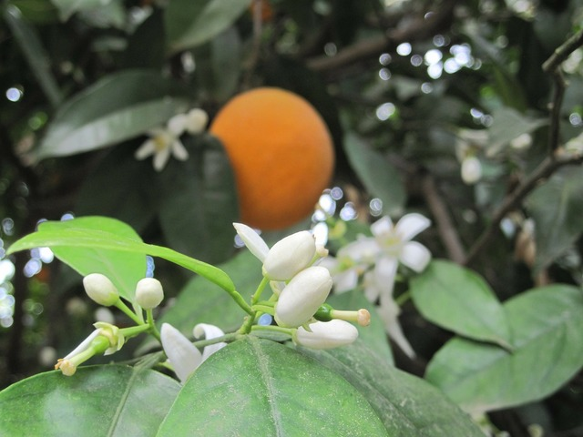 Orange orange blossom summer.