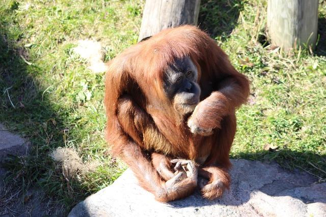 Orangutan ape nature, nature landscapes.