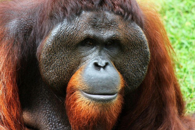 Orangutan monkey animal, animals.