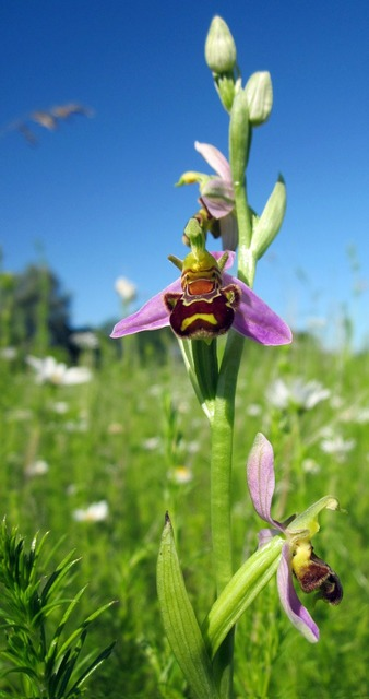 Orchid bee orchid wild, nature landscapes.