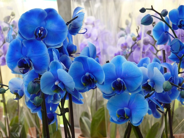 Orchid blue flower, nature landscapes.