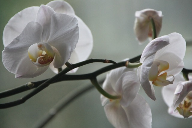 Orchid phalaenopsis blossom, nature landscapes.