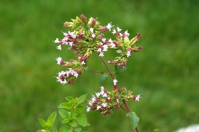 Oregano plant blossom, nature landscapes.