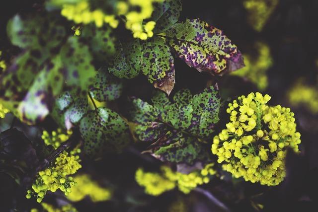 Oregon grape plant flowers, nature landscapes.