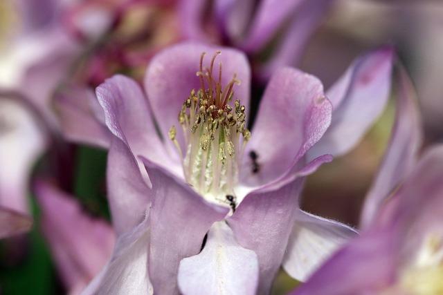 Orlik inside a flower stamens.