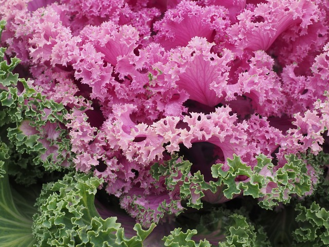 Ornamental cabbage leaves kraus, nature landscapes.