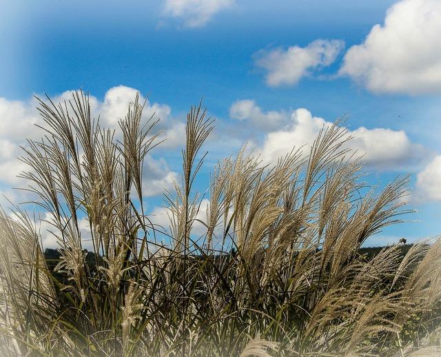 Ornamental grass miscanthus huron decorative, nature landscapes.