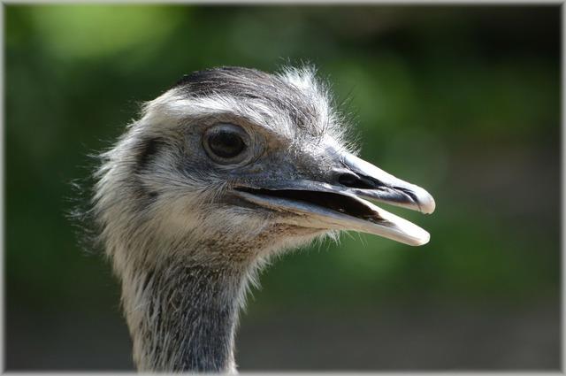 Ostrich african flightless bird, animals.