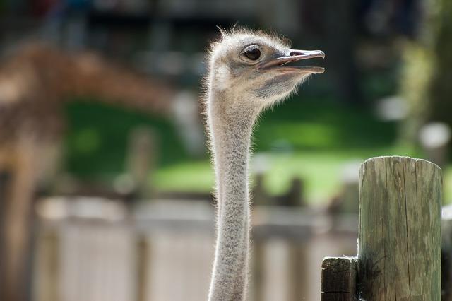 Ostrich animal animals, animals.