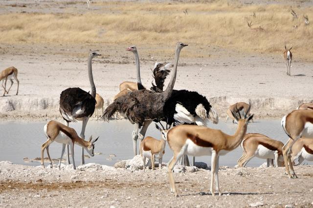 Ostrich birds flightless bird, food drink.