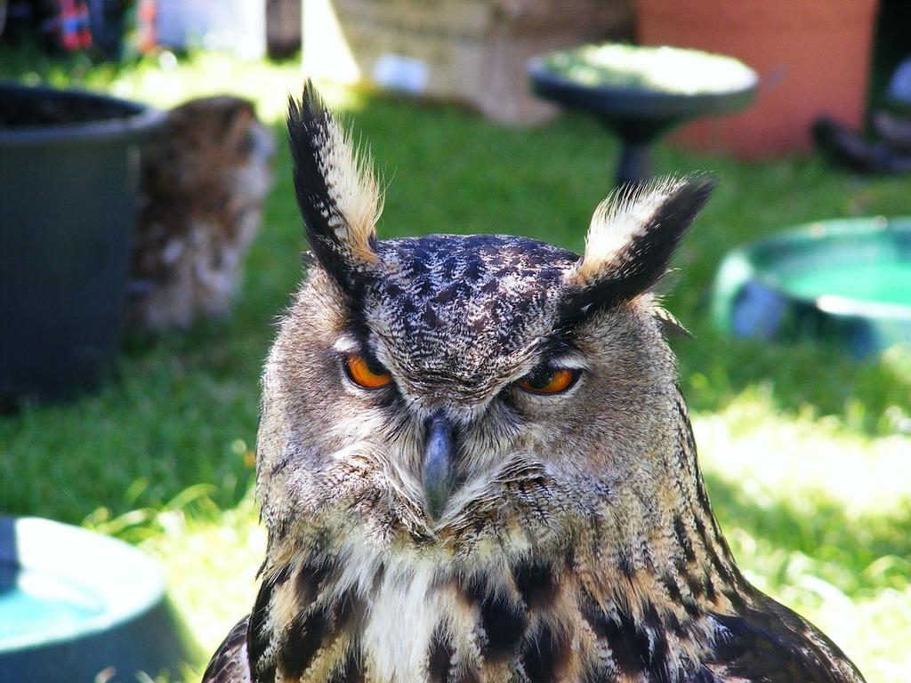 Image of: Birds Owl Bird Nocturnal Animals Picryl Owl Bird Nocturnal Animals Picryl