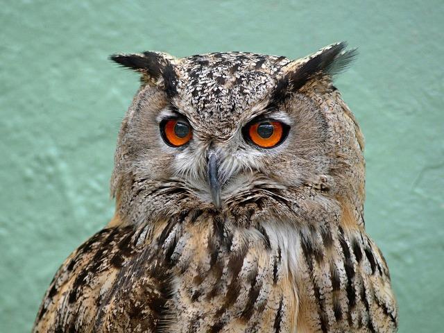 Owl bird wildlife, animals.