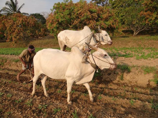 Ox-plough bullocks farmer.