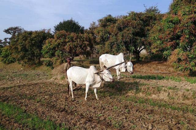 Ox plough farmer tilling, animals.