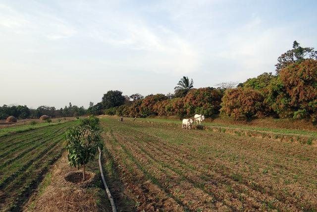 Ox-plough ox plough farmer, animals.