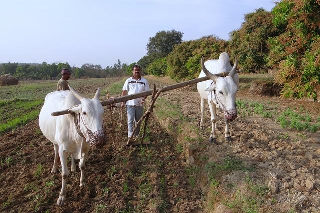 Ox-plough tiller ox plough, animals.