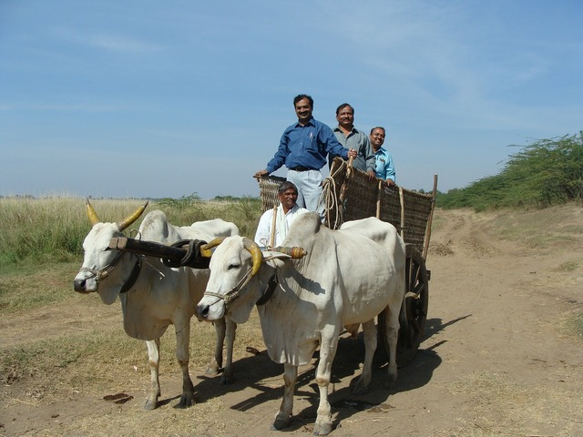 Oxen cart india, people.