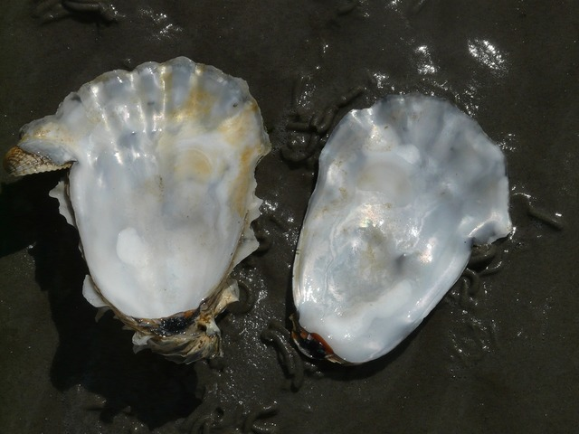 Oyster shell mother of pearl, animals.