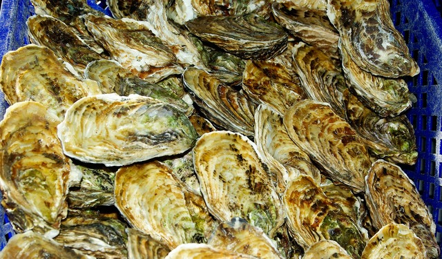 Oysters france shells.