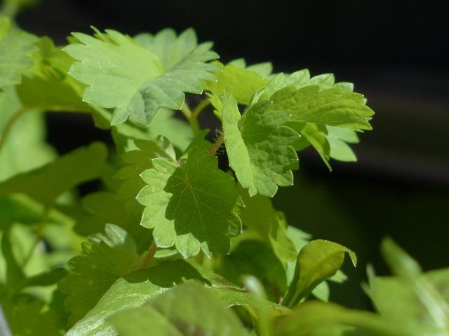 P herb kitchen herb, nature landscapes.