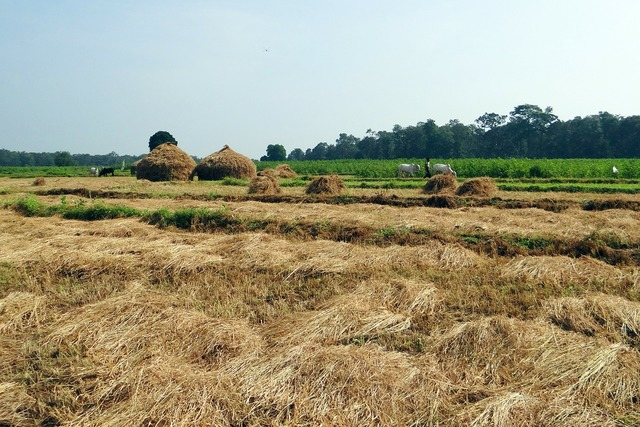 Paddy harvest hay stack workers.