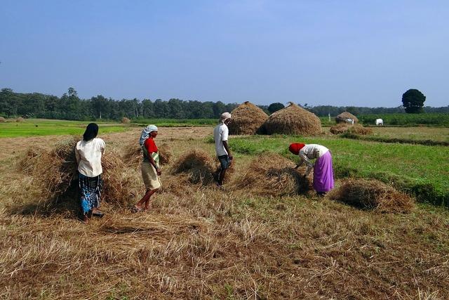 Paddy harvest rice.