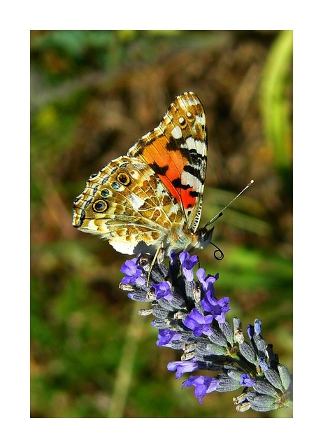 Painted lady butterfly butterflies, animals.