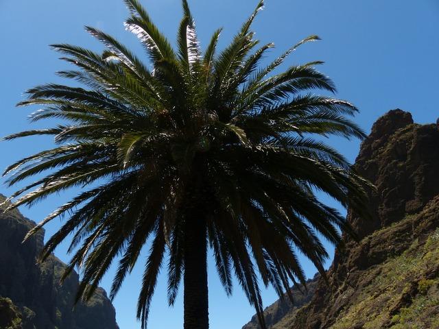 Palm canary island date palm phoenix canariensis.