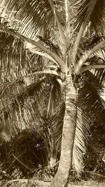 Palm coconut husk, travel vacation.