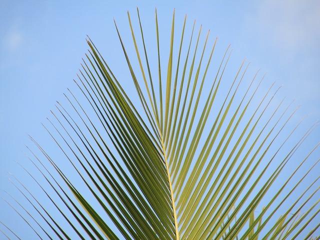 Palm palm leaf coconut tree.