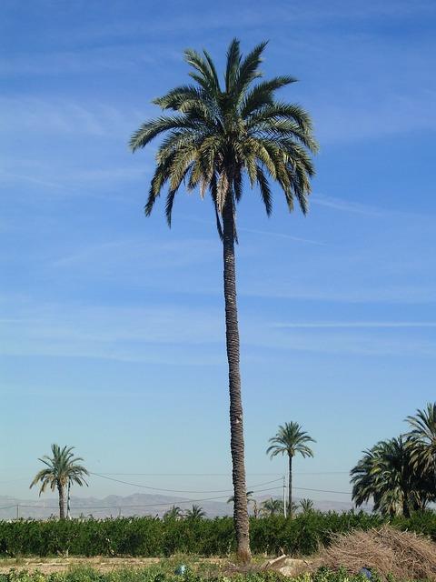 Palm tree field elche.