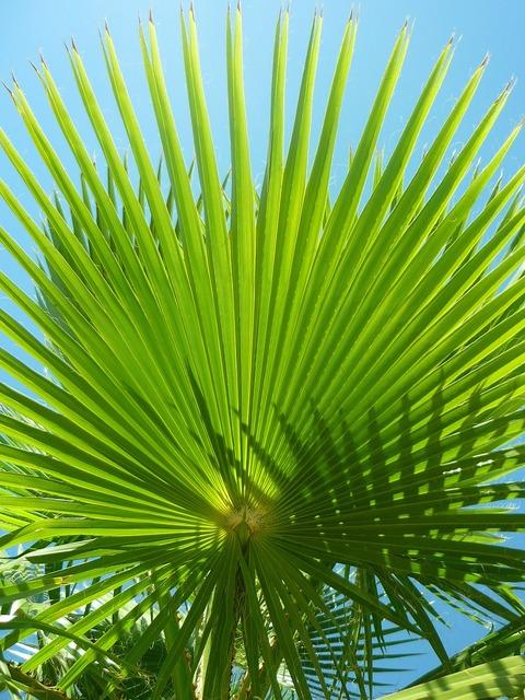 Palm tree leaves washingtonia.