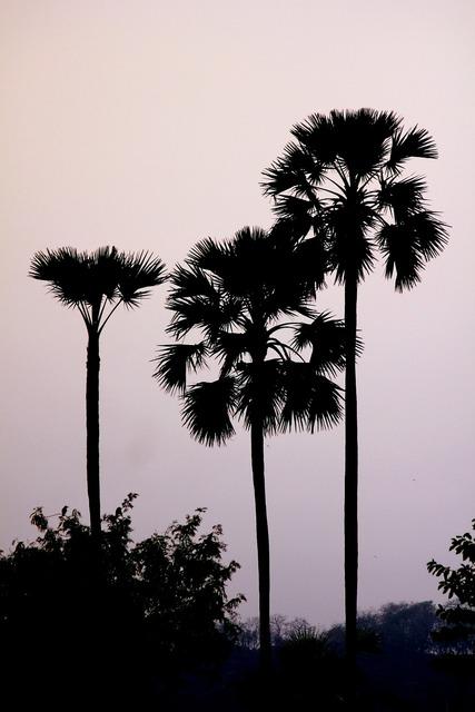 Palm trees palmyra.